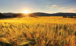 Wheat field - agriculture farm, industry